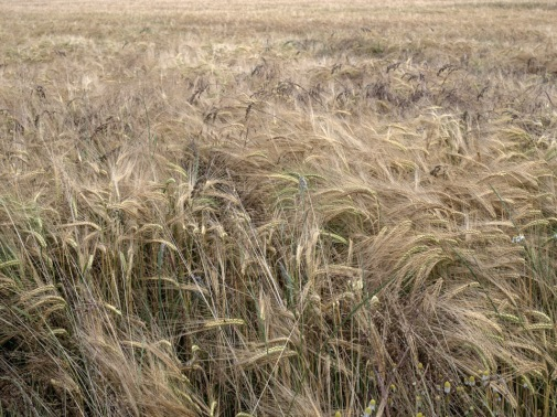 'The life of the fields', Lead Street. Barley, a staple food and beverage of the medieval peasant; our past relationship preserved in the popular folk song, John Barleycorn.